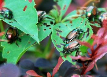 Japanese beetles eating plant foliage