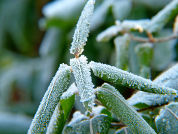 frost on plant leaves
