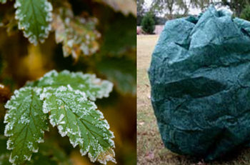 How to protect plants from frost and freezing conditions