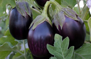 How to grow, harvest, and prepare eggplants