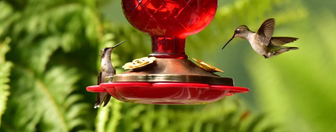 hummingbirds drinking from a feeder