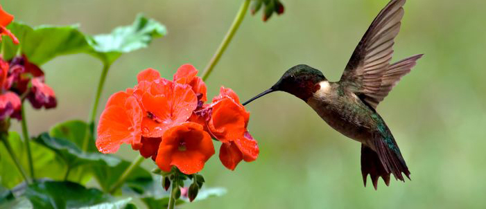 Hummingbird feeding on backyard flowers