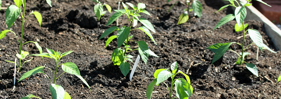 how to fertilize pepper plants