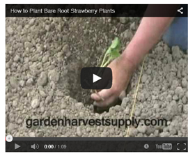 Watch this video on how to plant strawberry plants