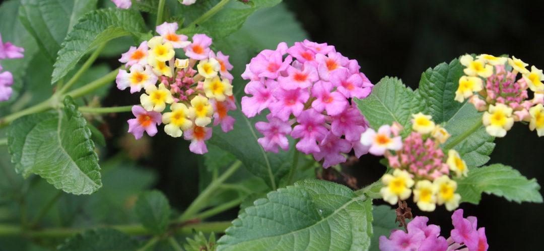 lantana blooms