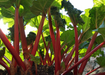 Rhubarb stalks growing in the garden