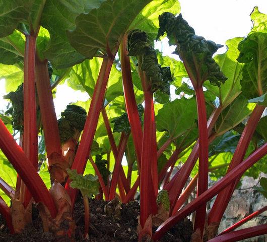 Rhubarb stalks growing in the garden