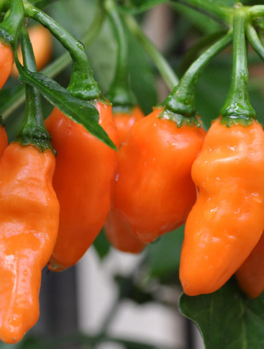 habanero peppers growing on a pepper plant