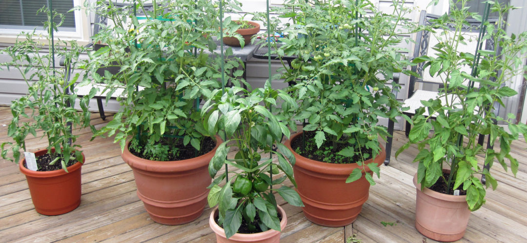 growing peppers and tomatoes in containers