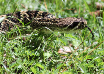 rattlesnake in the grass