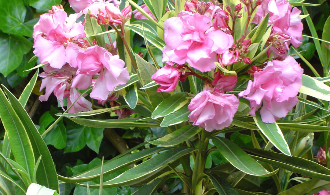 Oleander plants in the garden