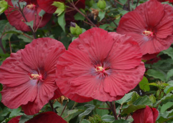 how to overwinter hardy hibiscus