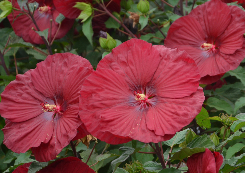 Keeping Hardy Hibiscus Over The Winter Blog Growjoy