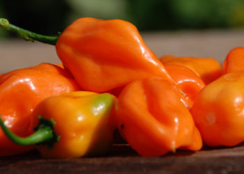 how to harvest habanero peppers
