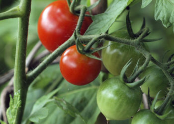 common tomato plant problems