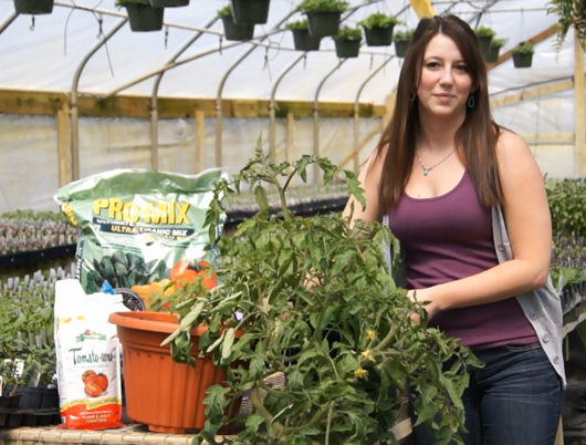 Transplanting a tomato plant into a container