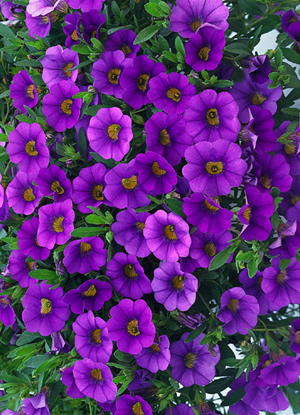 million bells, million bells calibrachoa, million bells calibrachoa plant, purple calibrachoa