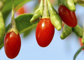How to grow goji berry plants in your garden