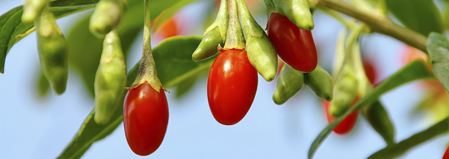 How To Grow Goji Berry Plants Blog Growjoy