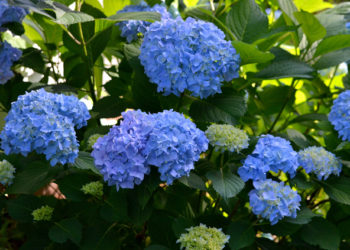 How to prune hydrangea shrubs