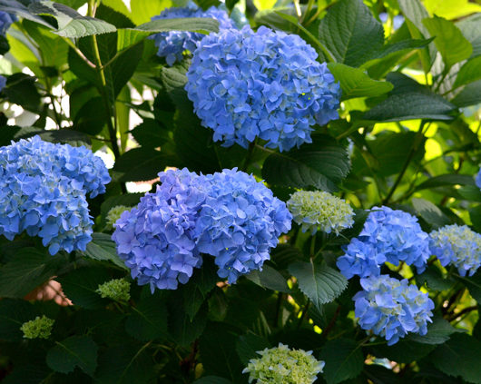 How to prune hydrangea shrubs