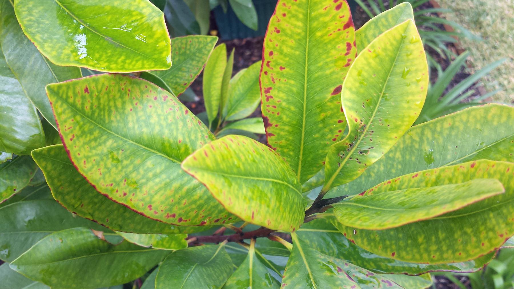 Yellow Leaves On Magnolia Tree Blog Growjoy