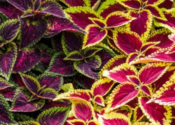 two vibrant coleus plants