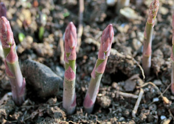 tips for harvesting asparagus