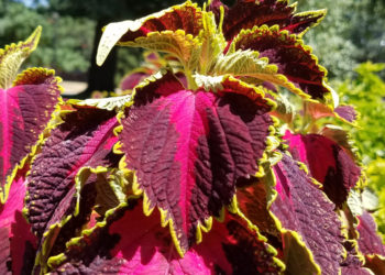 tips for caring for coleus