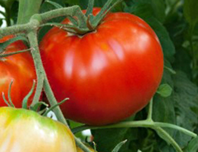 How to grow the best tomatoes