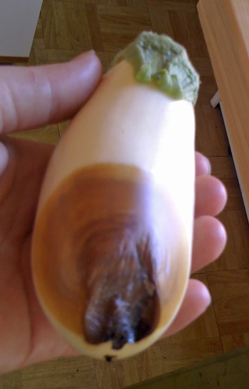 blossom end rot on eggplants