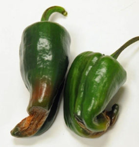 peppers with blossom end rot