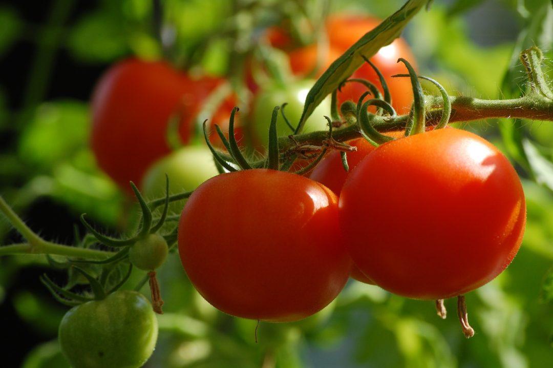 garden_growing_tomatoes