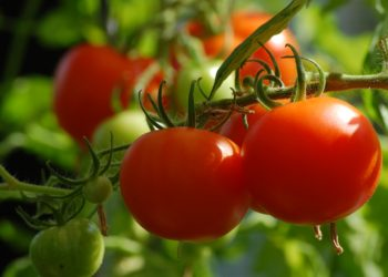garden_growing_tomatoes