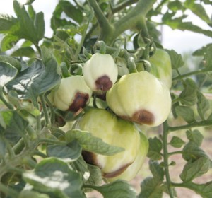 tomato plant with blossom end rot