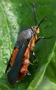 squash moth