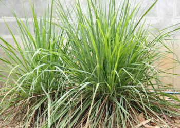 Lemongrass plants growing outside