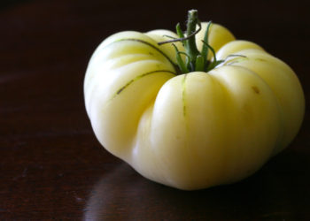 the great white tomato