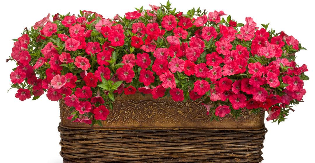 tips for growing supertunia petunias