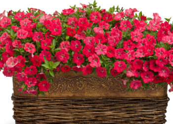 tips for growing supertunia petunias