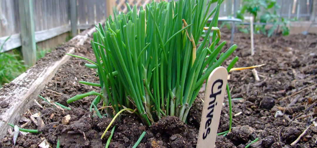 tips for growing chives