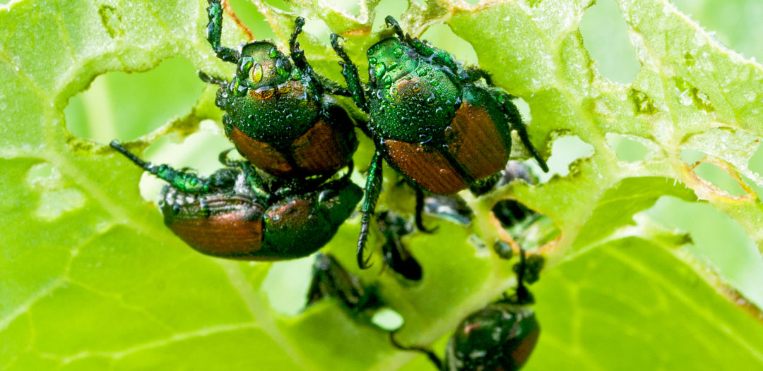 japanese beetles eating a plant leaf