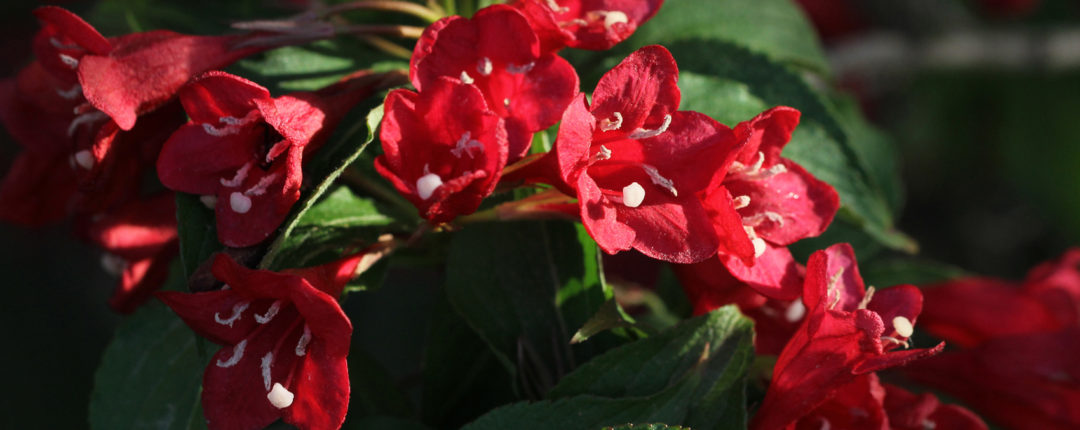 tips for growing weigela plants