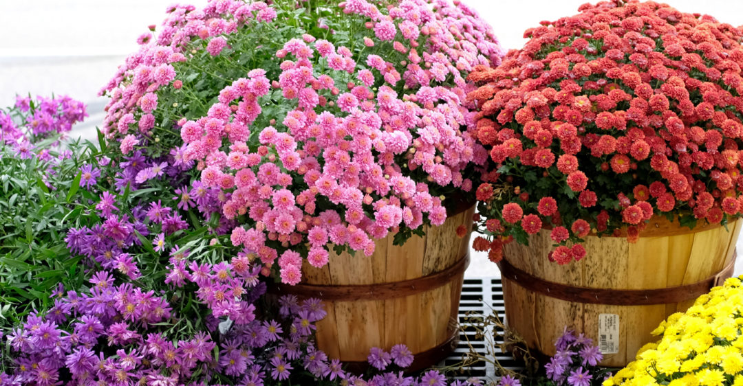 tips for choosing the correct chrysanthemum