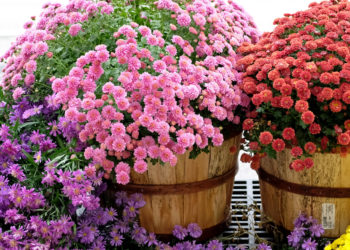 tips for choosing the correct chrysanthemum