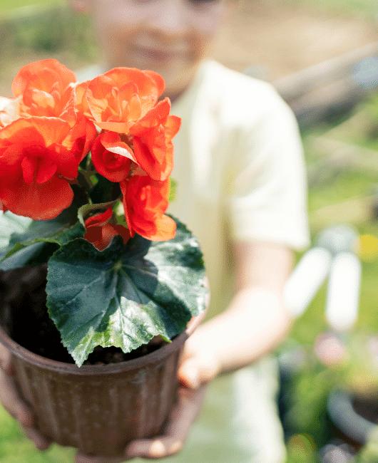 Growing Begonias