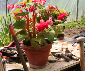 Growing begonia plants