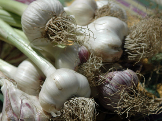 Freshly Harvested Garlic Plants