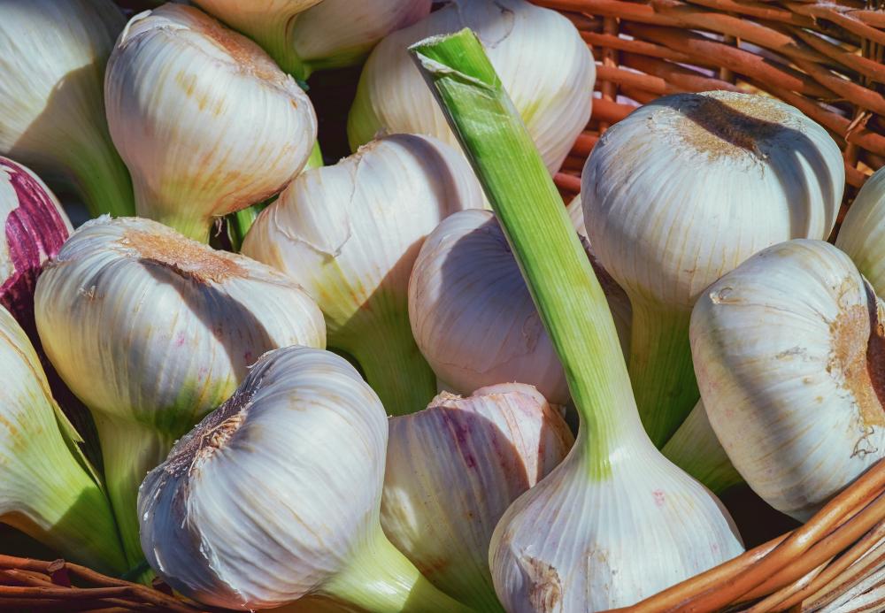 growing_garlic_bulbs_in_fall