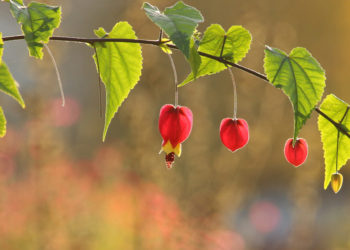 tips for growing healthy abutilon